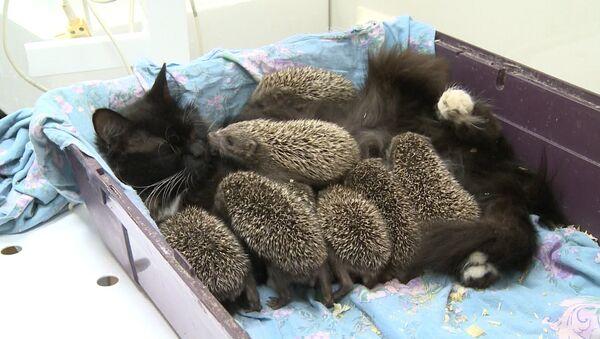 Mīļa pamāte: Vladivostokā kaķene pieņēmusi ežu bērnus - Sputnik Latvija