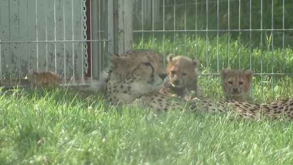 Совсем как котята: малыши-гепарды играли с мамой в пражском зоопарке - Sputnik Латвия