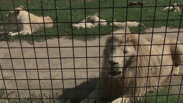 В зоопраке Dvorec в чешской Боровани в мае родились 5 белых львят - Sputnik Латвия