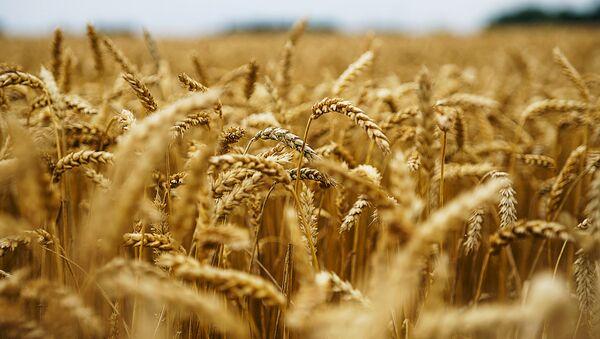 Пшеничное поле - Sputnik Латвия