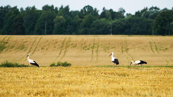 Аисты кормятся остатками урожая - Sputnik Латвия