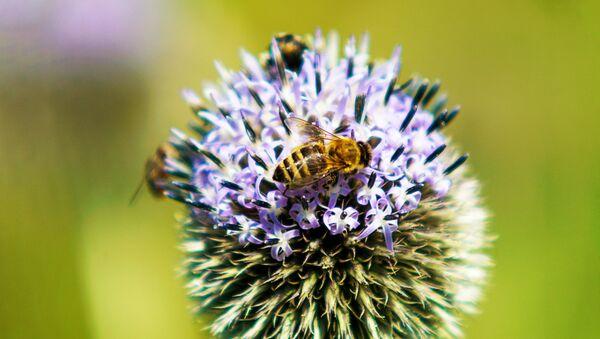 Пчела на цветке - Sputnik Latvija