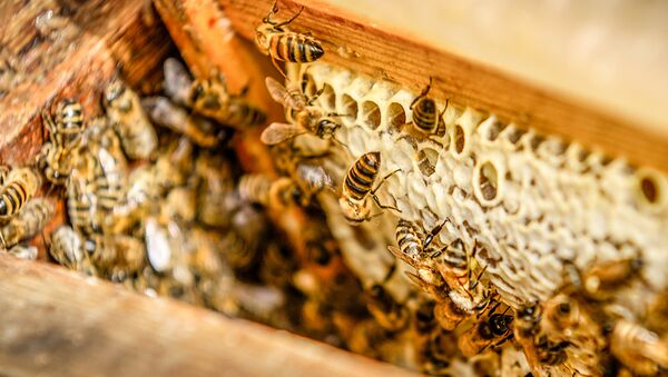 Пчелы одни из самых практичных и трудолюбивых созданий на Земле - Sputnik Latvija