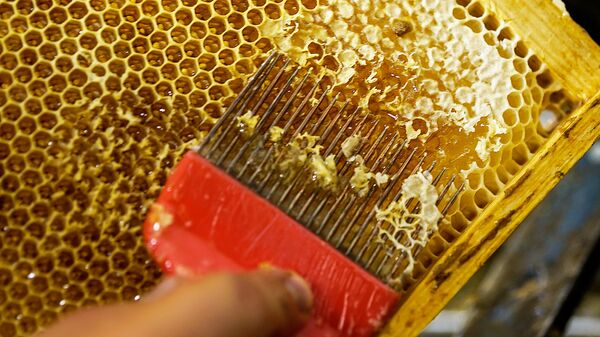 Соты с медом запечатаны воском и перед отжимом необходимо его удалить - Sputnik Латвия