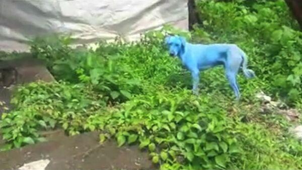 На улицах Мумбая появились голубые собаки - Sputnik Латвия