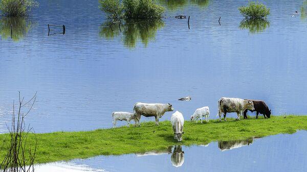 Наводнение и коровы - Sputnik Latvija