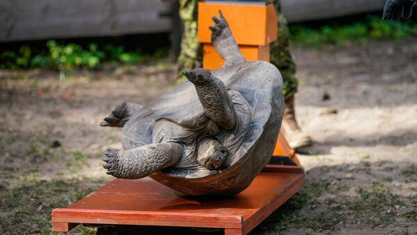 Традиционное взвешивание галапагосских черепах в Рижском зоопарке - Sputnik Латвия