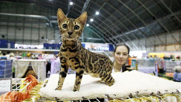 Котенок бенгальской породы - Sputnik Латвия