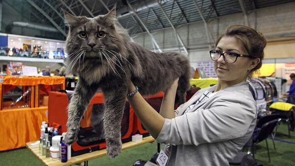 Мейн-кун, самая крупная порода домашних кошек - Sputnik Латвия