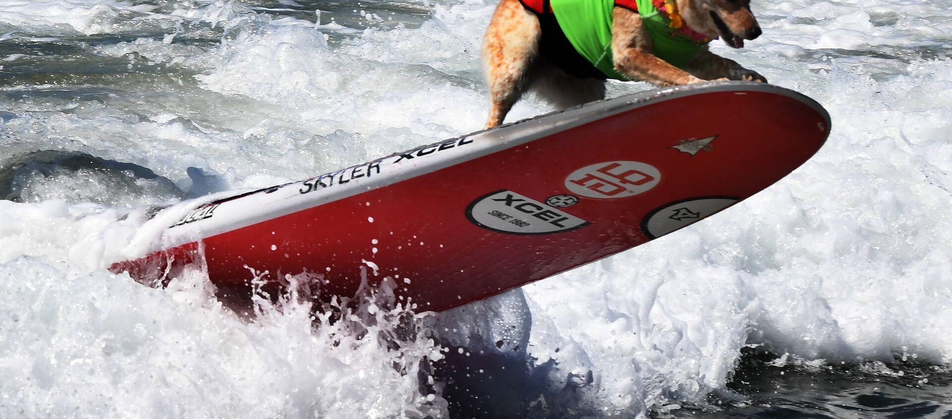 Чемпионат по собачьему серфингу Surf City Surf Dog прошел на калифорнийском пляже Хантингтон-Бич 23 сентября. На фото: пес Скайлер - Sputnik Латвия, 1920, 22.09.2020