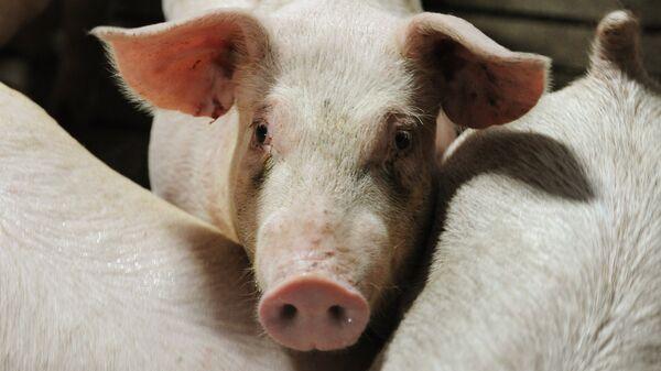 Свиньи в стойле - Sputnik Latvija