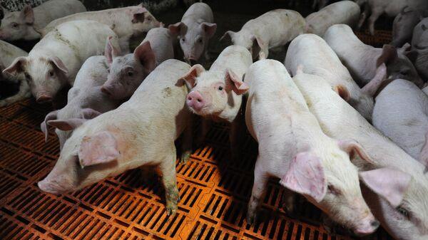 Свиньи в стойле - Sputnik Латвия