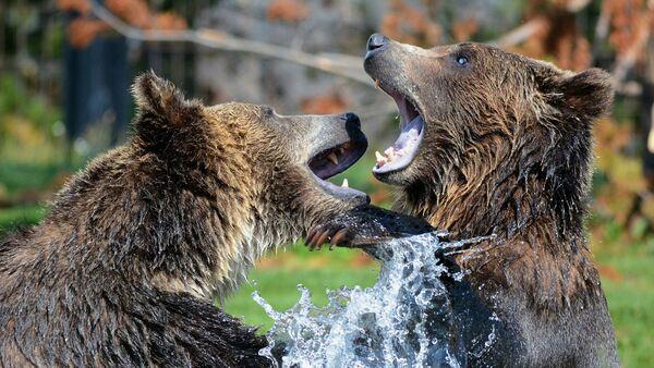 Медведи - Sputnik Latvija