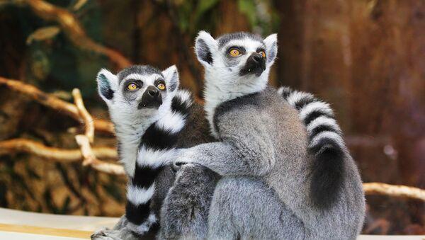 Lemuri - Sputnik Latvija