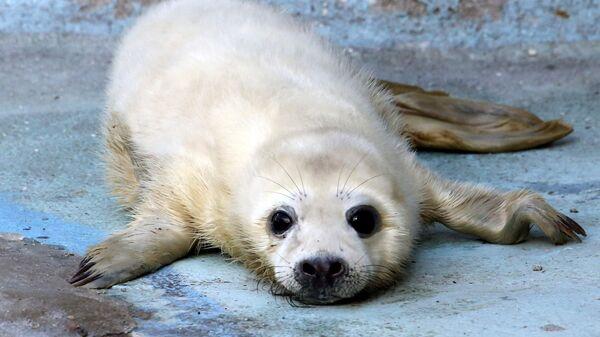 Детеныш серого тюленя - Sputnik Латвия
