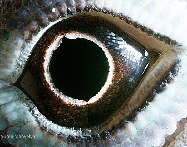 Глаз ящерицы анолис - Sputnik Латвия
