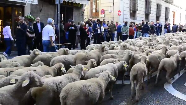 Несколько тысяч овец прошли по улицам Мадрида - Sputnik Латвия