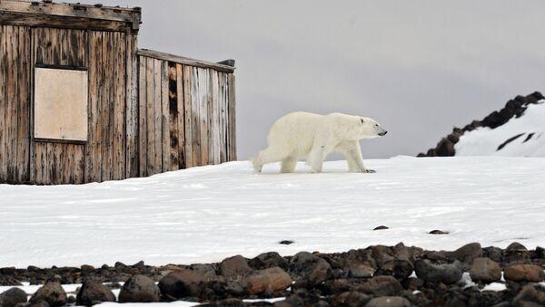 Белый медведь на территории полярной станции на берегу бухты Тихая на острове Гукера архипелага Земля Франца-Иосифа - Sputnik Latvija