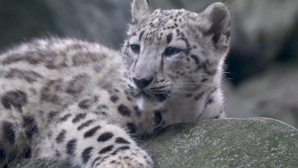 Sniega leoparda kaķēns spēlējas ar mammas asti Ņujorkas zoodārzā - Sputnik Latvija