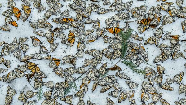 Fotogrāfa Jaime Rojo uzņēmums Monarchs in the Snow - Sputnik Latvija