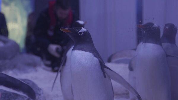 Londonas akvārijs demonstrējis ātrākos pingvīnus pasaulē - Sputnik Latvija