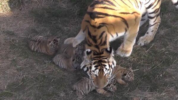 Kas te ūsās ņaud: Krimas parkā Tajgans piedzimst Amūras tīģerēni - Sputnik Latvija