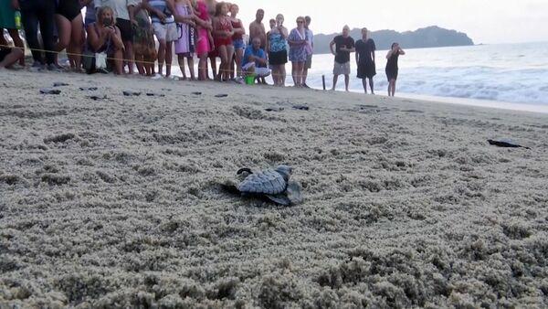 Тысячи новорожденных морских черепашек отправились в Тихий океан - Sputnik Латвия