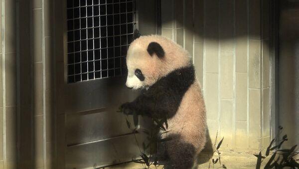 Шестимесячную панду впервые показали публике в токийском зоопарке - Sputnik Латвия