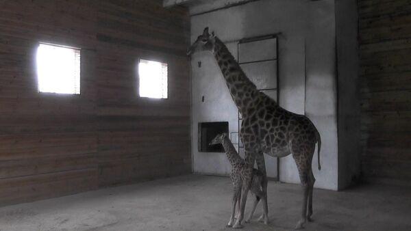 Новорожденный жираф - Sputnik Латвия