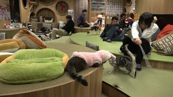 Кошачье кафе в Японии помогает снять стресс его посетителям - Sputnik Латвия