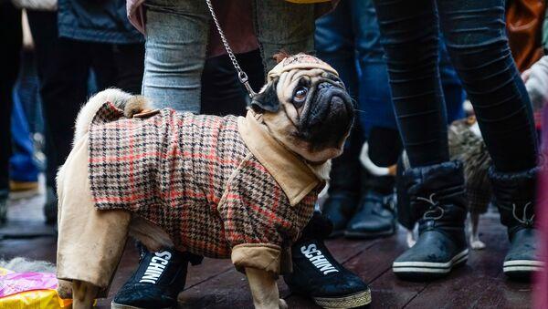 Собаки тоже поучаствовали в конкурсе на лучший костюм  - Sputnik Latvija