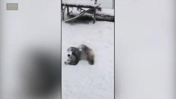 Панда радуется снегу как ребенок - Sputnik Latvija