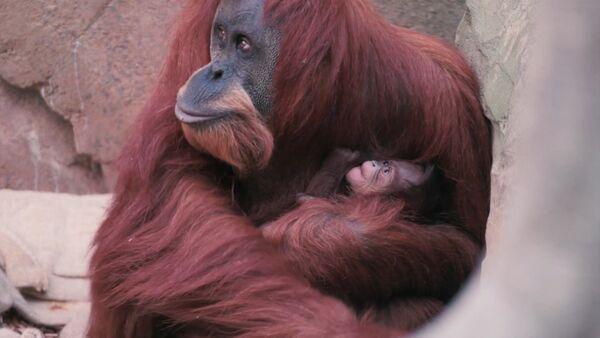 Орангутана Эмму с детенышем впервые показали публике в Честерском зоопарке - Sputnik Латвия