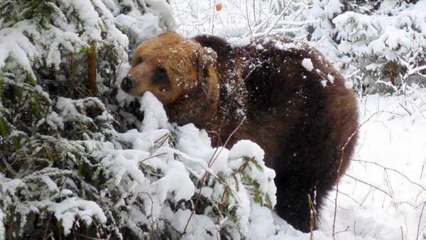 Медведица Илзите - Sputnik Латвия