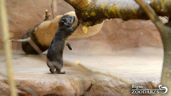 В семье даманов Рижского зоопарка прибавление - Sputnik Латвия
