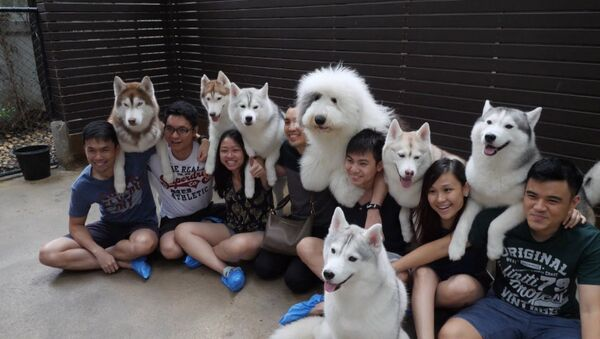 Smaidošie suņi un dejojošais akita: haskiju kafejnīca Bangkokā - Sputnik Latvija