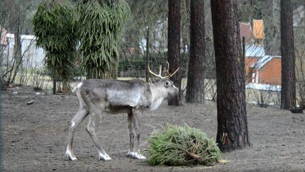Битва века в Рижском зоопарке: бриедис против елочки - Sputnik Латвия