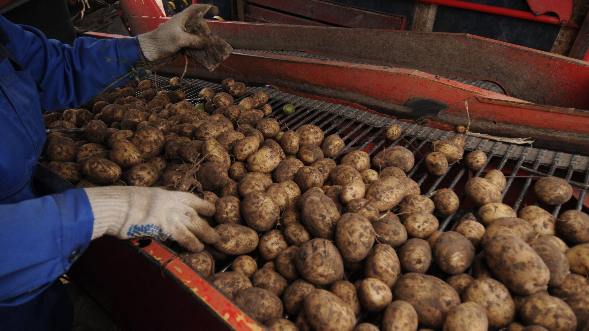 Сбор урожая картофеля - Sputnik Латвия, 1920, 02.09.2021