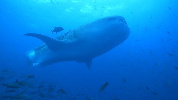 Китовая акула - Sputnik Латвия