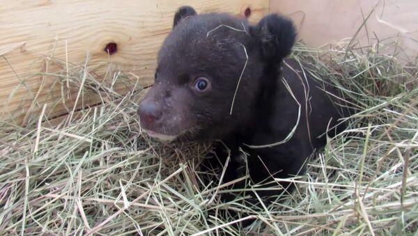 Veterināri kopj bārenīti – Himalaju lāča mazuli - Sputnik Latvija