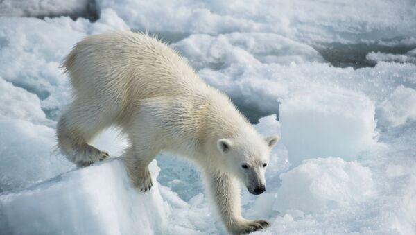 Медвежонок белого медведя - Sputnik Латвия