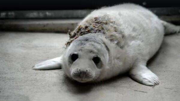 В Рижский зоопарк доставлен первый в этом году раненый тюлененок - Sputnik Латвия