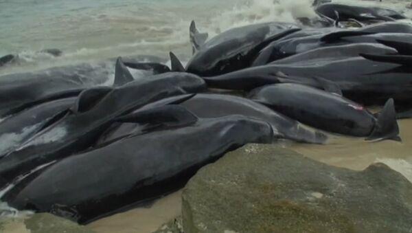 Более 150 черных дельфинов выбросились на побережье Австралии - Sputnik Латвия