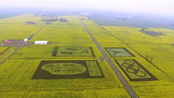 В Китае расцвели рапсовые поля - Sputnik Латвия