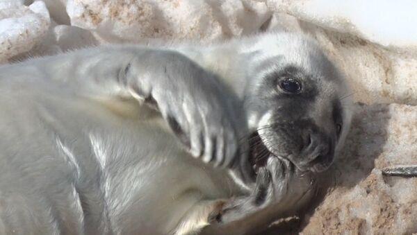Детеныши тюленей нежатся на балтийском солнышке - Sputnik Латвия
