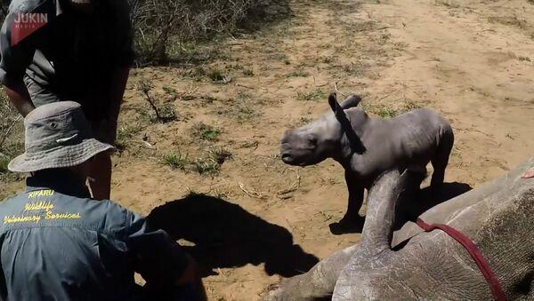 Маленький носорог отважно защищает маму - Sputnik Латвия