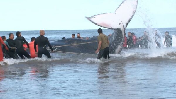 Argentīnieši veselu dienu glābuši vali – pašnāvnieku - Sputnik Latvija