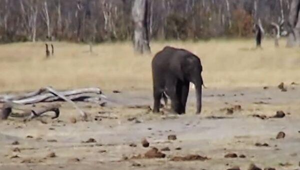 Слоненок сражается со львами - Sputnik Latvija