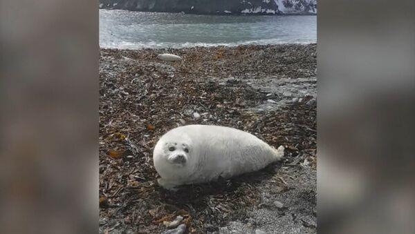 Raibā roņa mazulis saņēma iesauku no zoologiem – Rijējs. - Sputnik Latvija