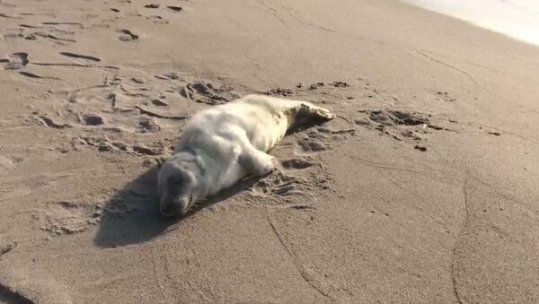 Раненого детеныша тюленя спасли под Калининградом - Sputnik Латвия